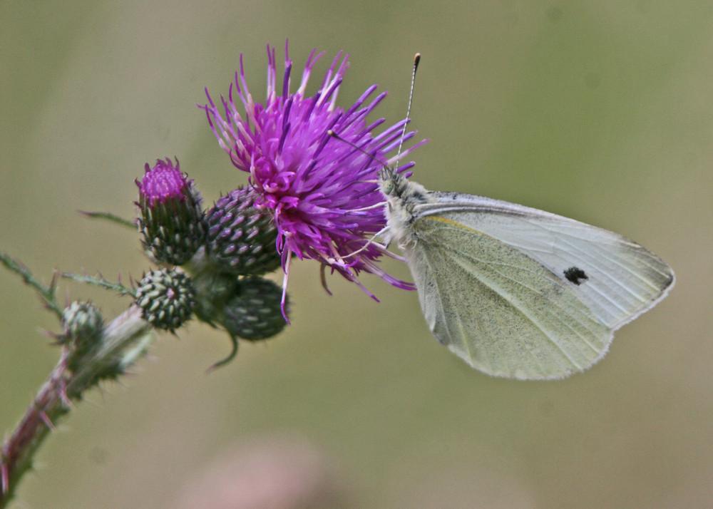 Diestel und Schmetterling