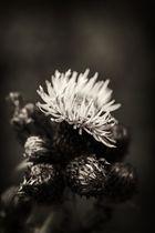 Diestelblüte