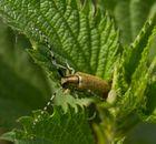 Diestelbock Käfer2