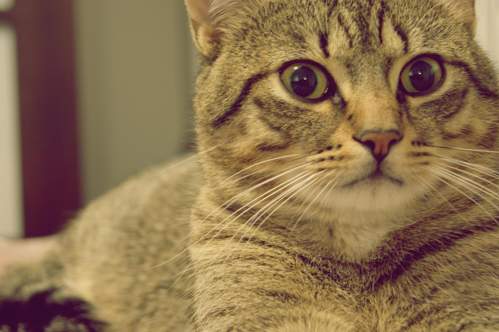 Dieu a inventé le chat pour que l'homme ait un tigre à caresser chez lui.