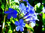 Different Plumbago-Blue-Nuances...........