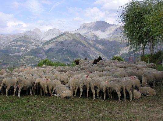digestion du mouton, vallée de la Blanche, le Haut-Vernet