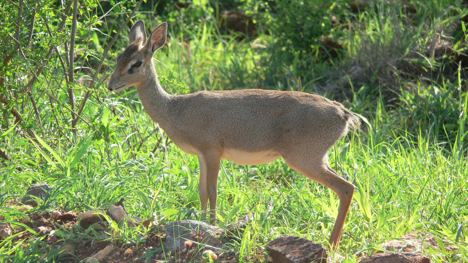 Dikdik im Tsavo east Nationalpark/Kenia