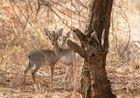 Dikdiks - Samburu / Kenya