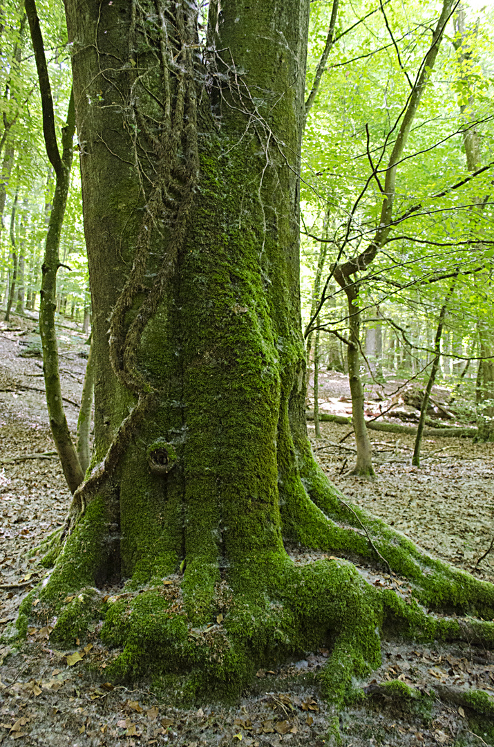 Dillinger Wald 4