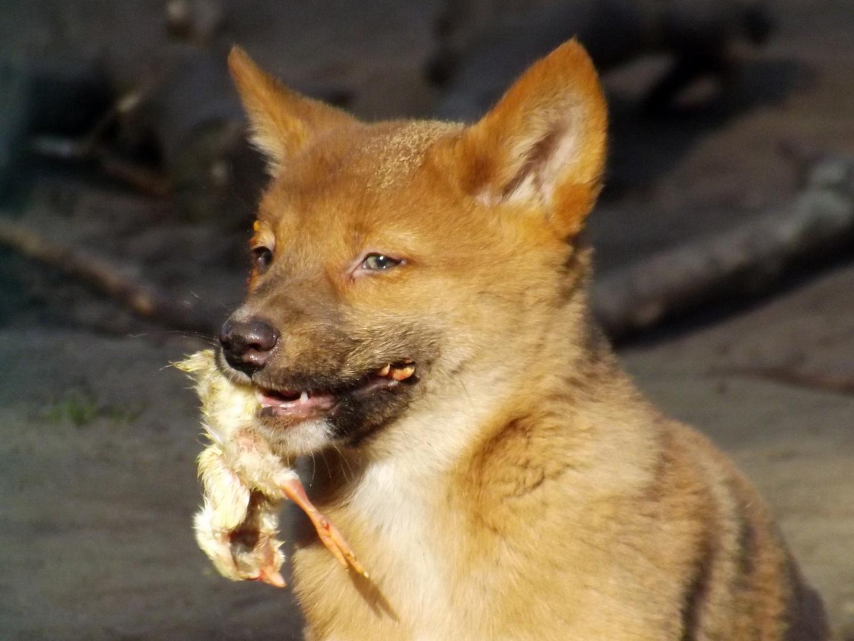 Dingo - fast food