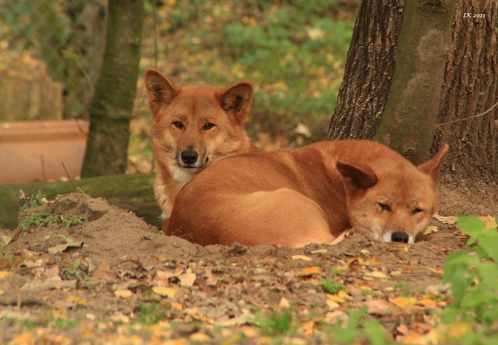 Dingos im Tierpark Ueckermünde