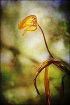 Dinosauria tulipa