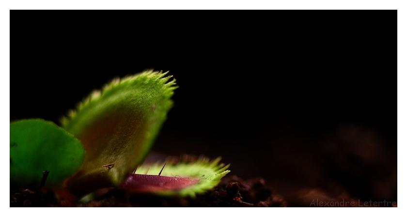 Dionaea muscipula 'sawtooth'