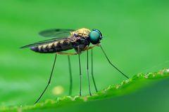 Diptera, Chrysopilus asiliformis