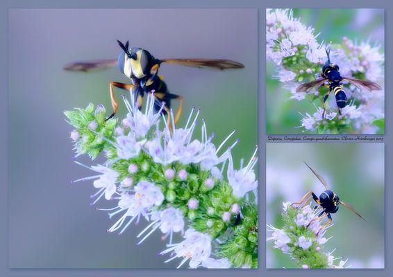 Diptera, Conopidae, Conops quadrifasciatus.