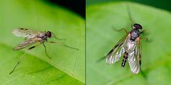 Diptera, Rhagio maculatus