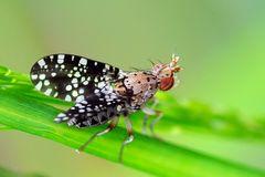 Diptera, Sciomyzidae, Trypetoptera