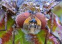 Diptera Tachinidae PP von Sergio Storai