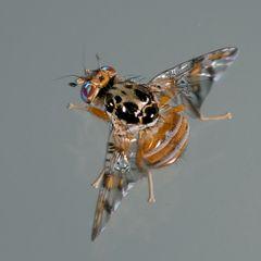 Diptera, Tephrytidae, Ceratitis capitata