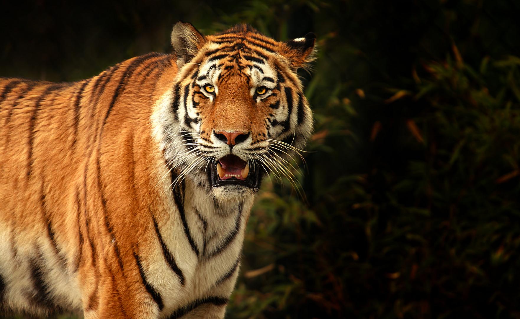 Direkter Blickkontakt mit dem Tiger....