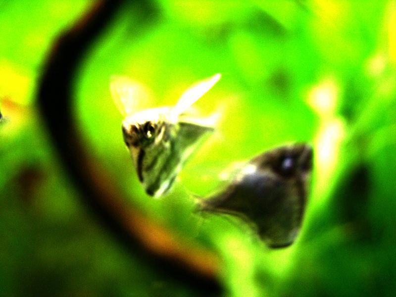 discofish
