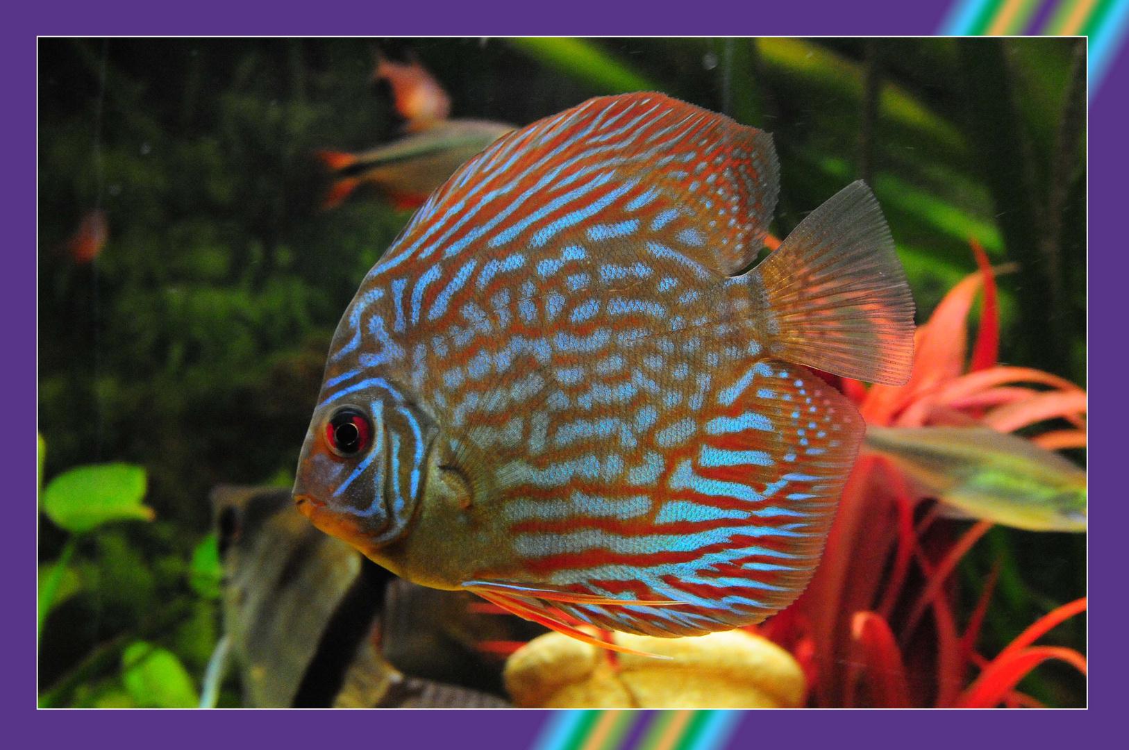 Diskus - neu in meinem Aquarium