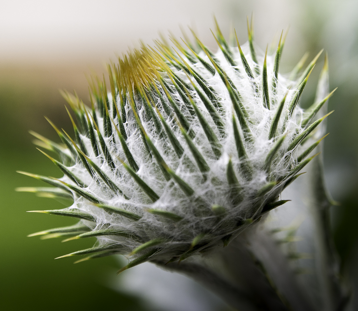 distel foto bild pflanzen pilze flechten bl ten kleinpflanzen disteln und karden. Black Bedroom Furniture Sets. Home Design Ideas