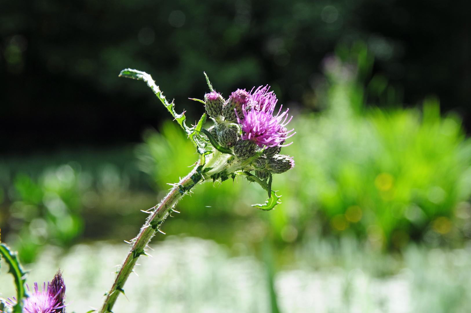 Distel am Teich