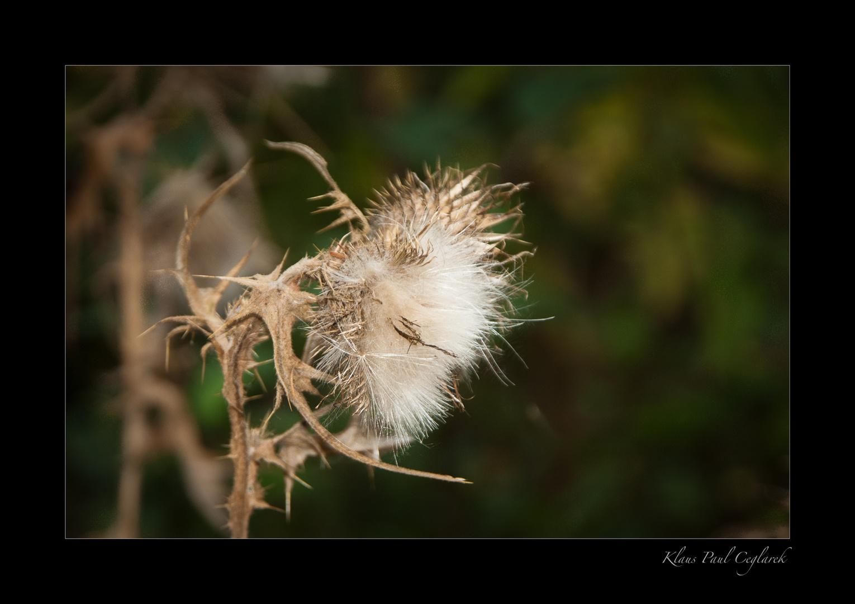 Distel im Herbst