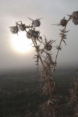 Distel im Nebel