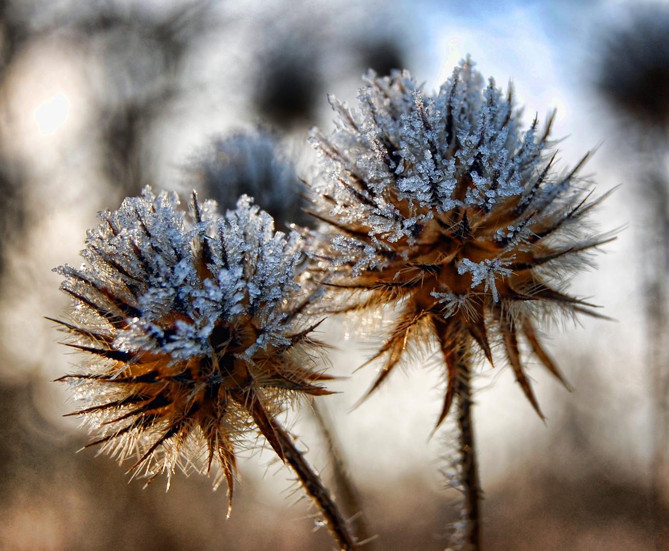 Distel im Winter