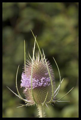 Distel mit Blütenständen