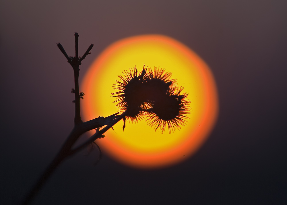 Distel ...Sun ... Sundisteldown :-))