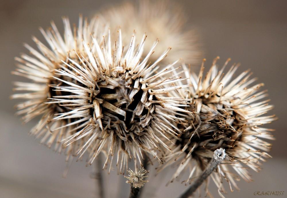 distel verbl ht foto bild pflanzen pilze flechten pflanzen im winter natur bilder auf. Black Bedroom Furniture Sets. Home Design Ideas