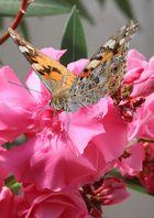 Distelfalter auf Oleander