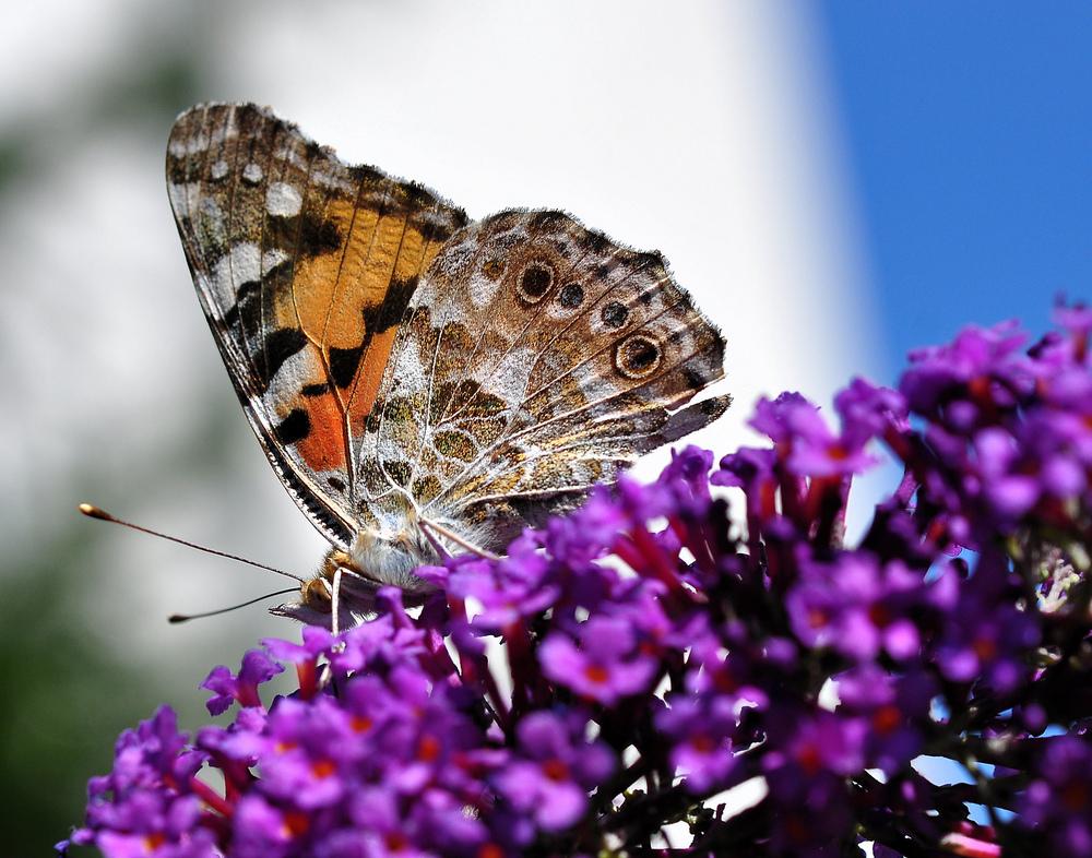 """Distelfalter auf """"Schmetterlingsflieder"""""""