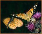 Distelfalter und Violettsilberfalter im Anflug