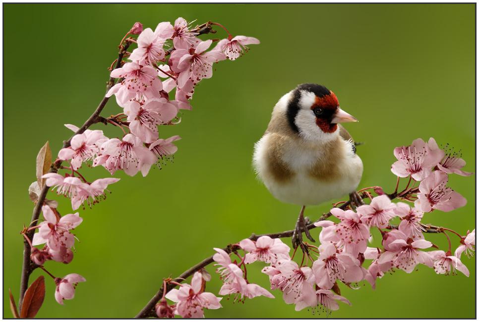 Distelfink auf Blüten