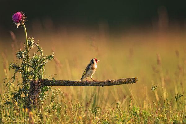 Distelfink - Vogel des Jahres 2016