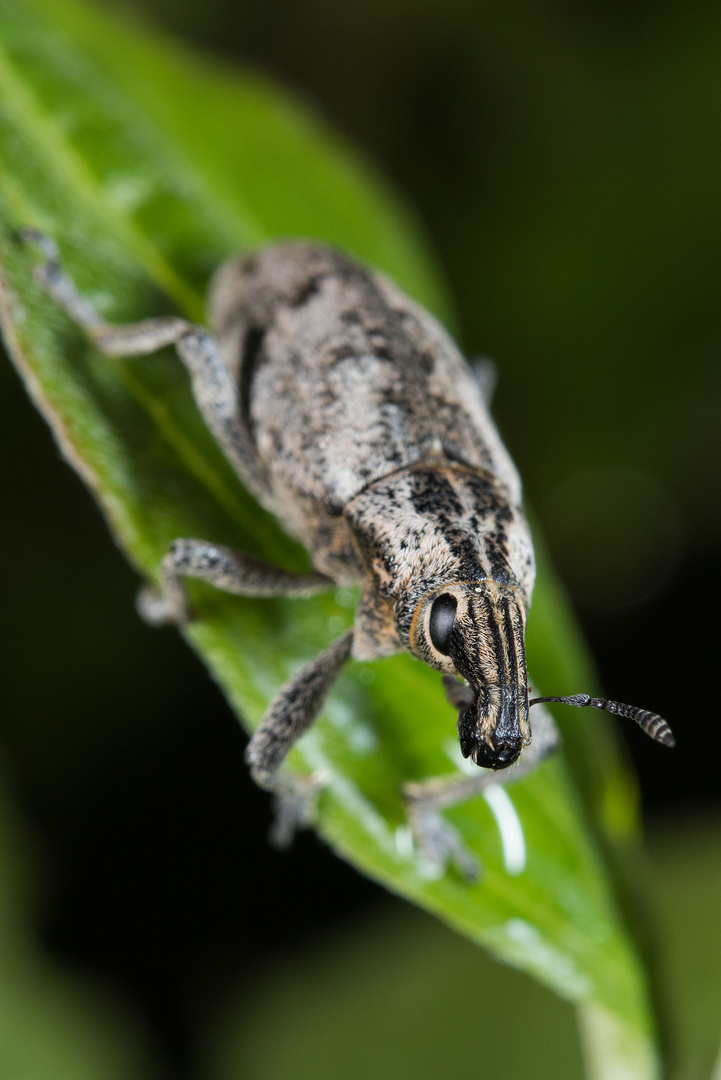 Distelgallenrüssler (Cleonis pigra)