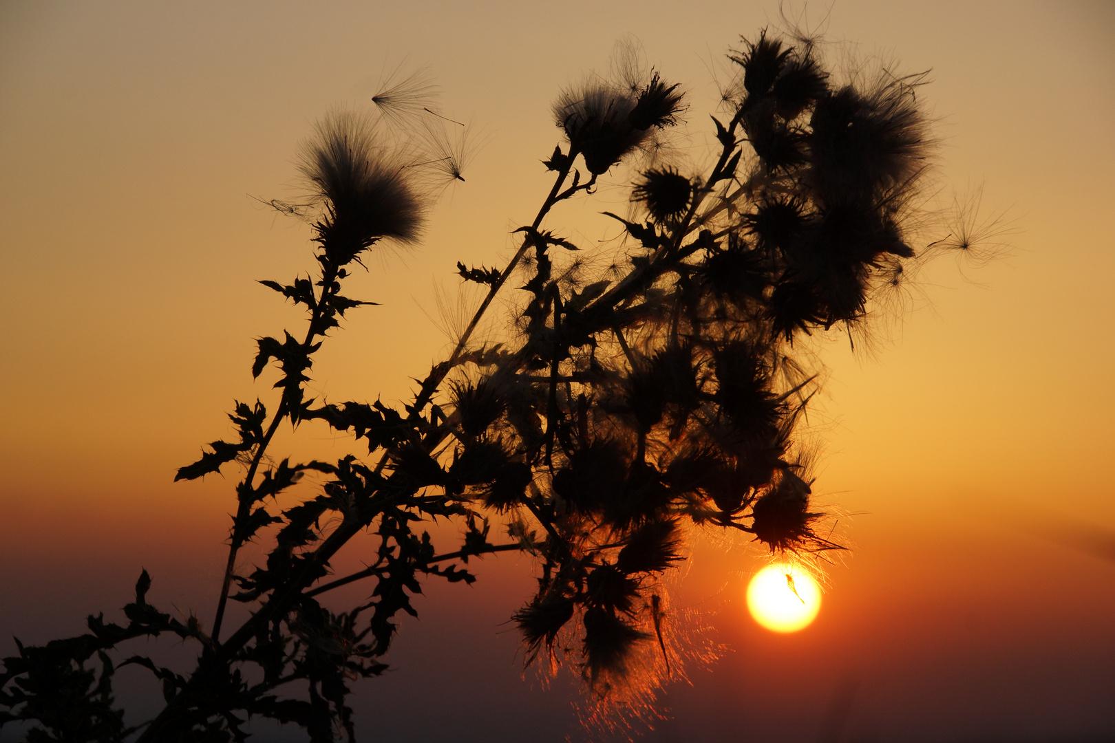 Disteln in der Abendsonne