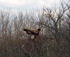 Dithmarschen Koog Greifvogel