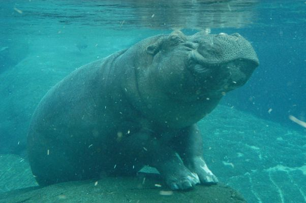 Diving Hippo at San Diego
