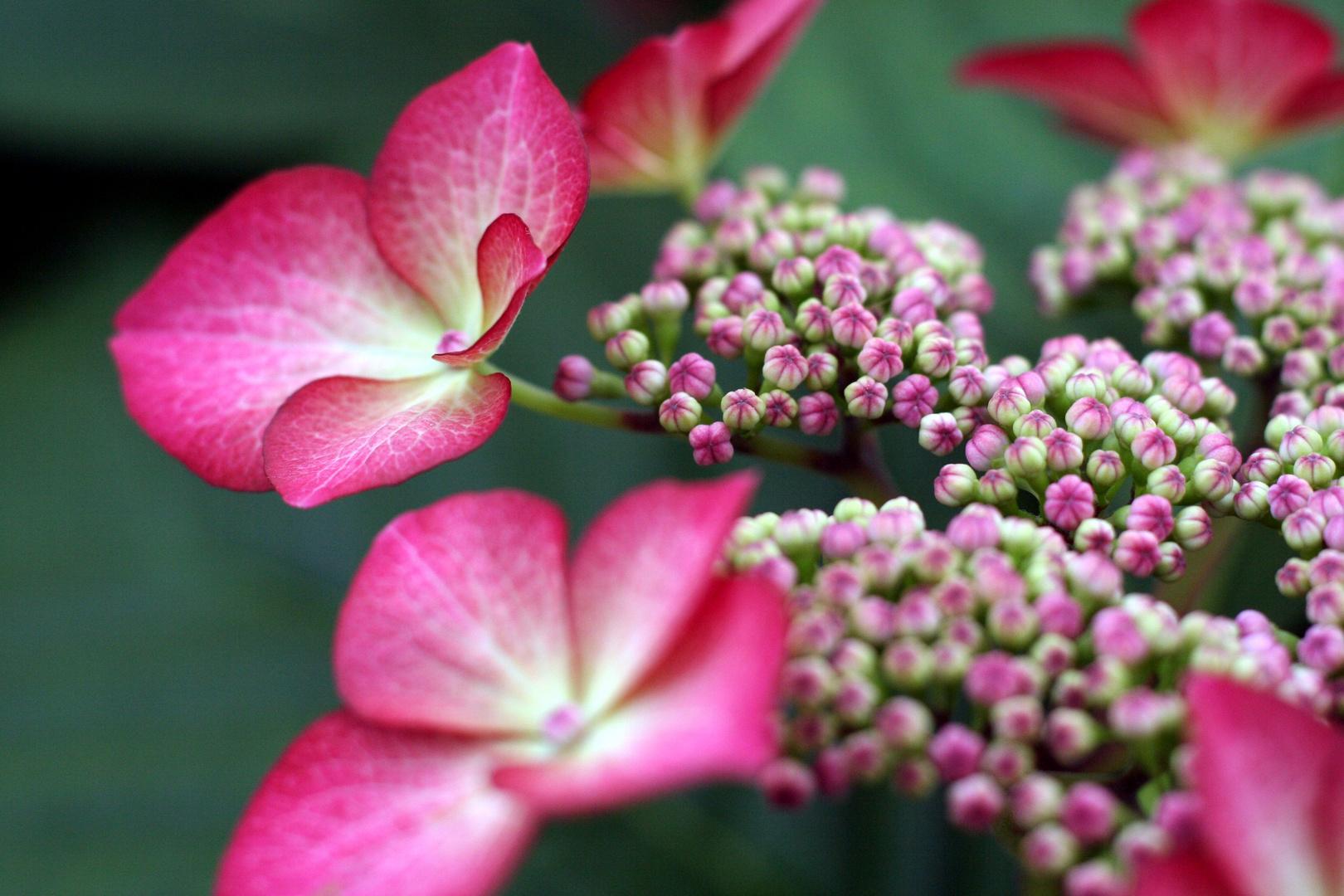 divins hortensias
