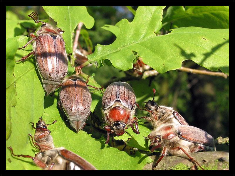 Doch die Käfer, kritze kratze! ...