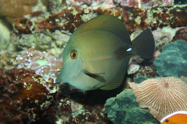 Docktorfisch