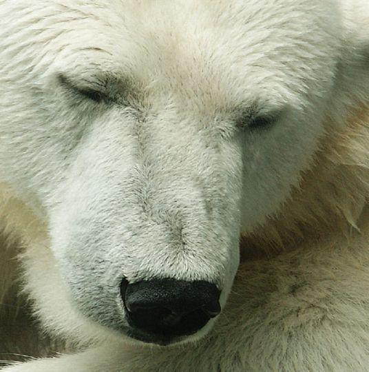 ... dösende Bären in der Stuttgarter Wilhelma