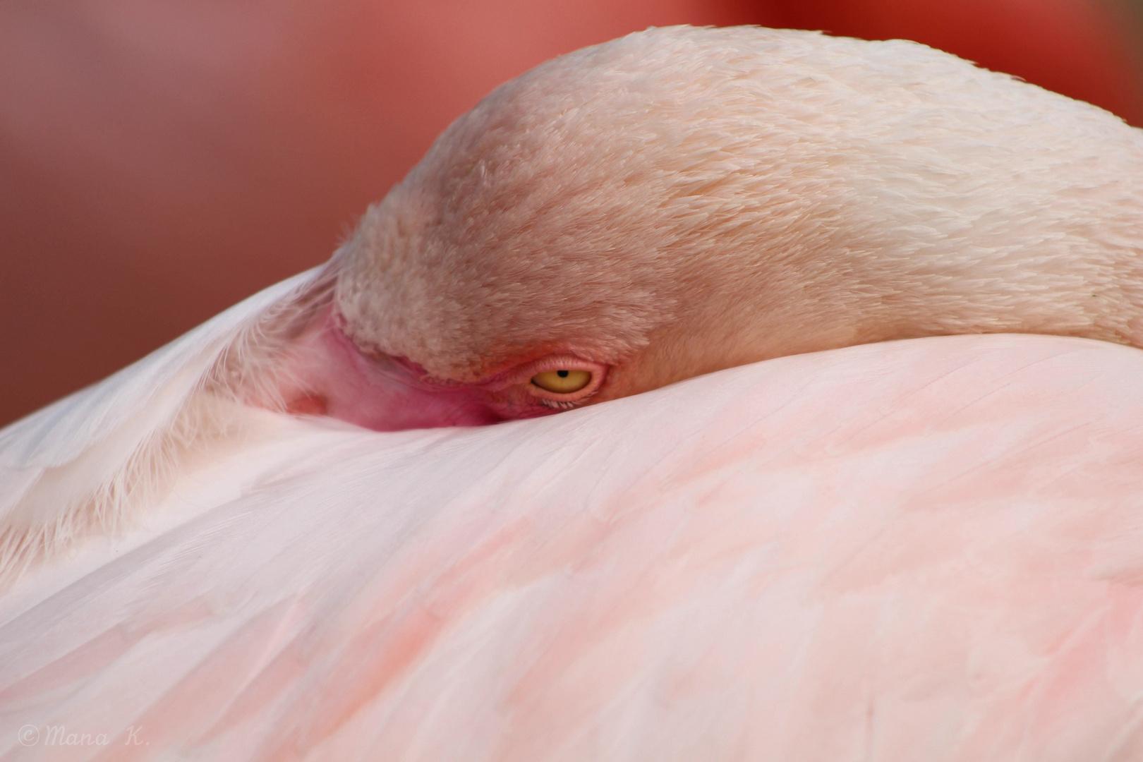 Dösender Flamingo