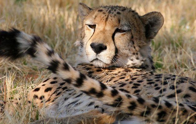 Dösender Gepard