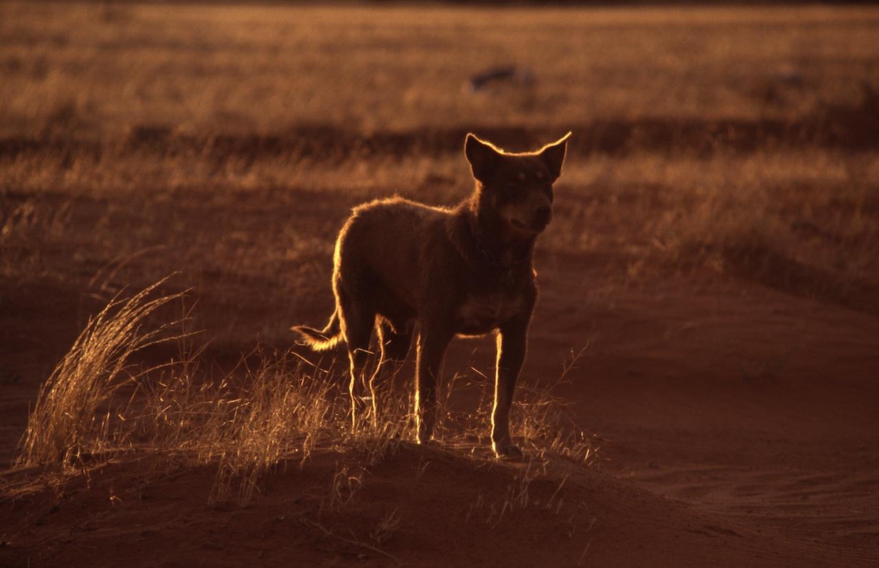 Dog in backlight