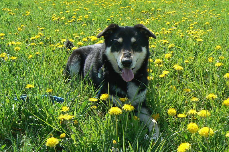 dog loves the buttercup flowers