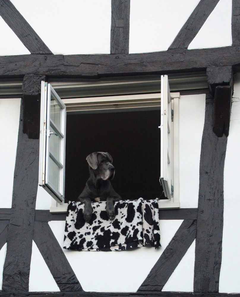 Dog out of the window