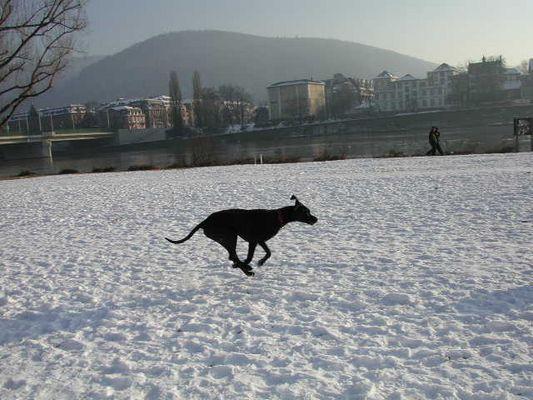 Dogge auf der Neckarwiese