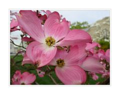 Dogwood Tree Blossoms